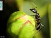 800-pix-ant-on-caper-01a